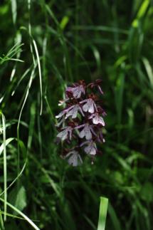 carda_orchidea
